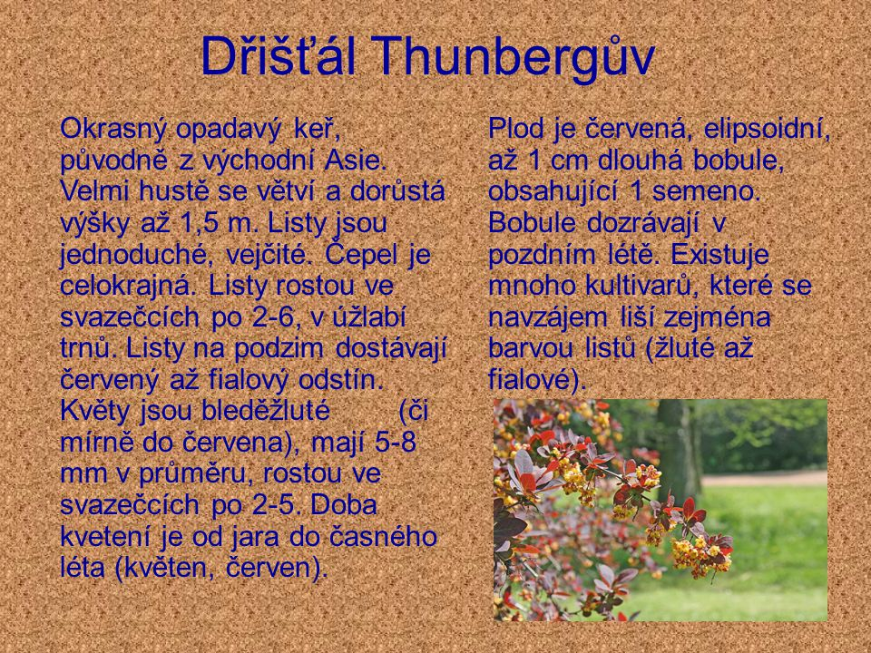 Dřišťál Thunbergův