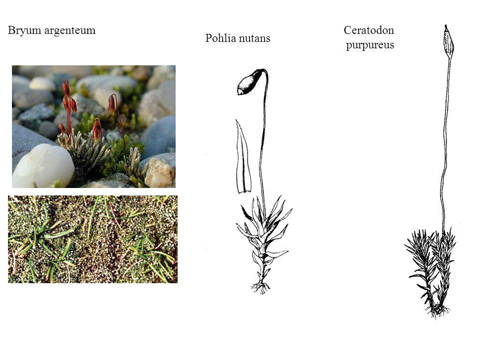Bryum argenteum Ceratodon purpureus Pohlia nutans