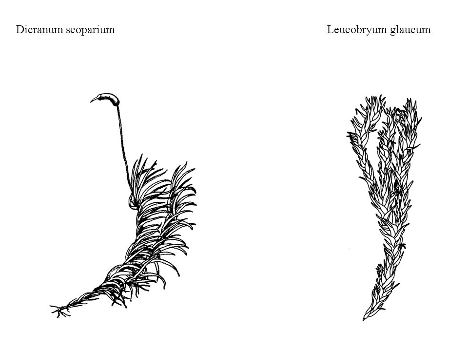 Dicranum scoparium Leucobryum glaucum