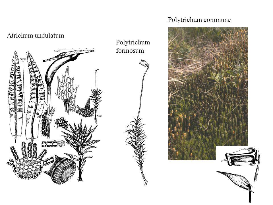 Polytrichum commune Atrichum undulatum Polytrichum formosum
