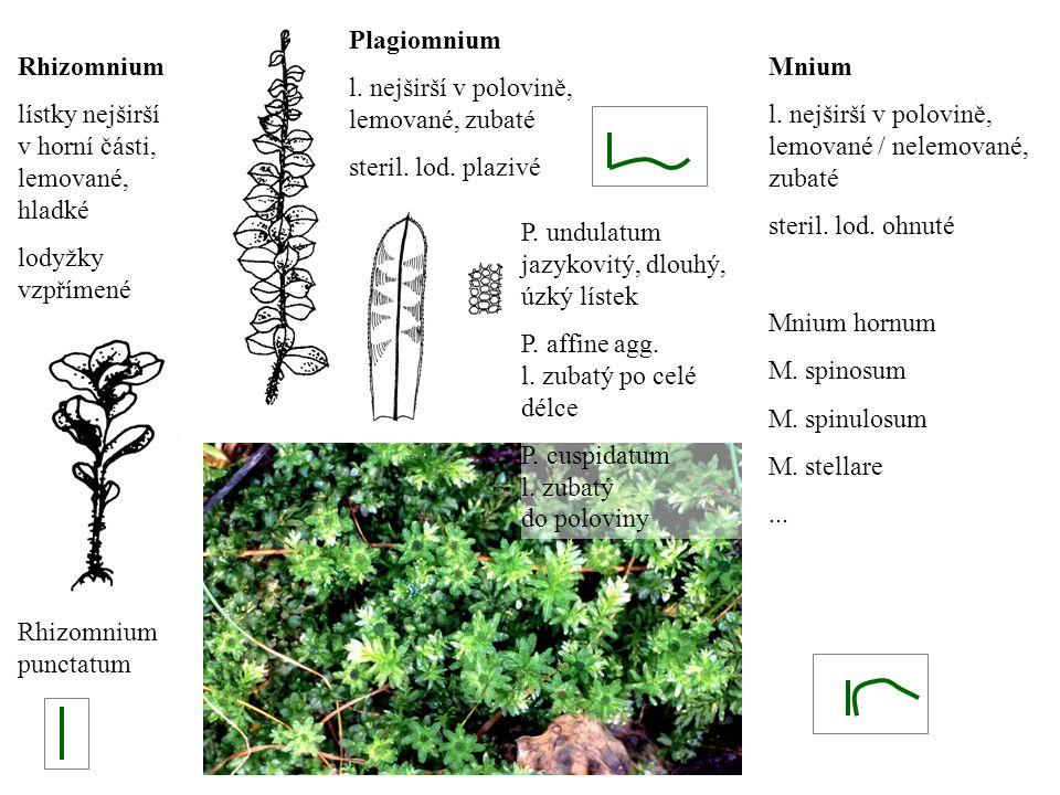 Plagiomnium l. nejširší v polovině, lemované, zubaté. steril. lod. plazivé. Rhizomnium. lístky nejširší v horní části, lemované, hladké.