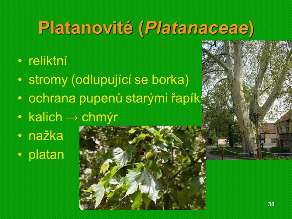 Platanovité (Platanaceae)