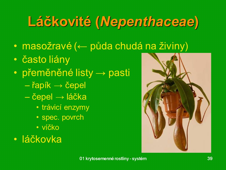 Láčkovité (Nepenthaceae)