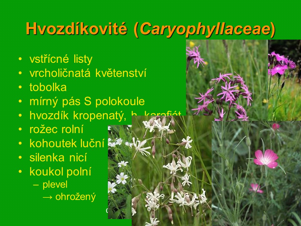 Hvozdíkovité (Caryophyllaceae)