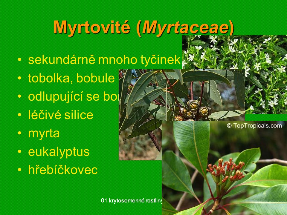 Myrtovité (Myrtaceae)