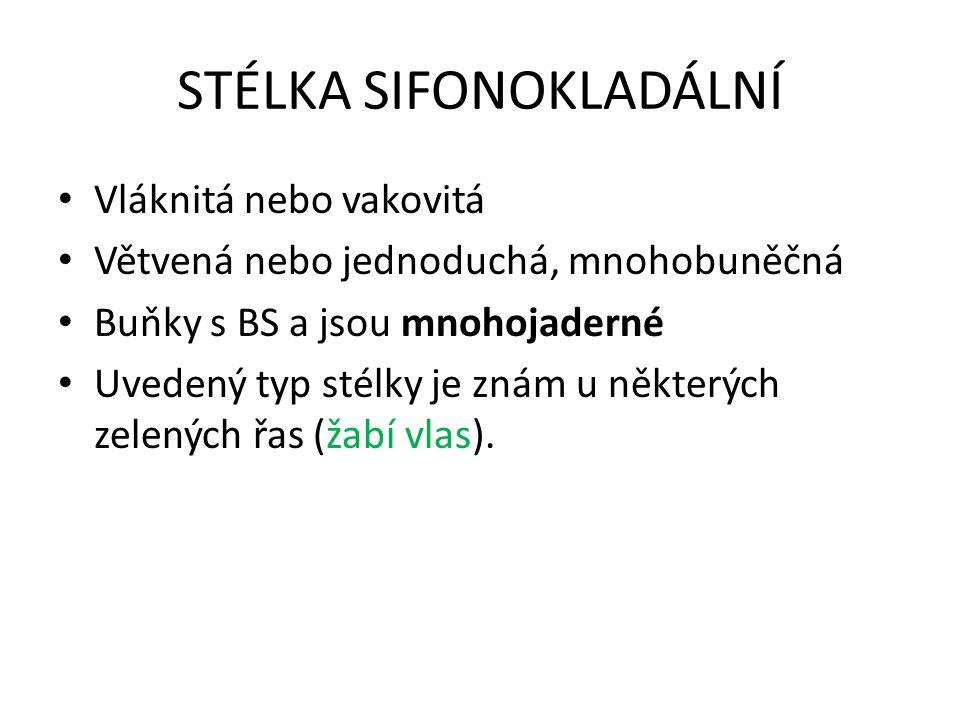 STÉLKA SIFONOKLADÁLNÍ
