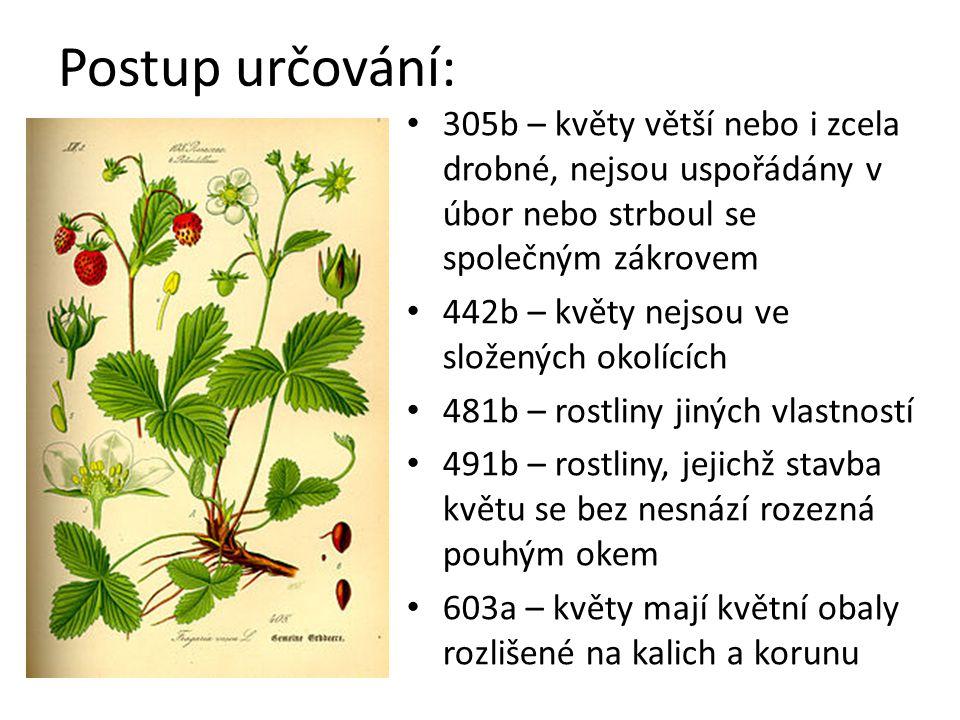 Postup určování: 305b – květy větší nebo i zcela drobné, nejsou uspořádány v úbor nebo strboul se společným zákrovem.