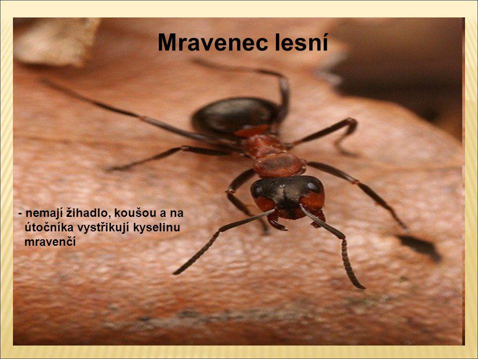 Mravenec lesní - nemají žihadlo, koušou a na