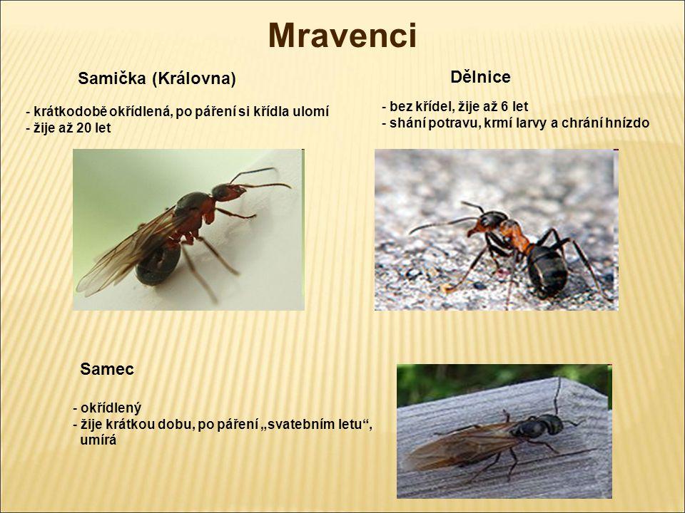 Mravenci Samička (Královna) Dělnice Samec bez křídel, žije až 6 let