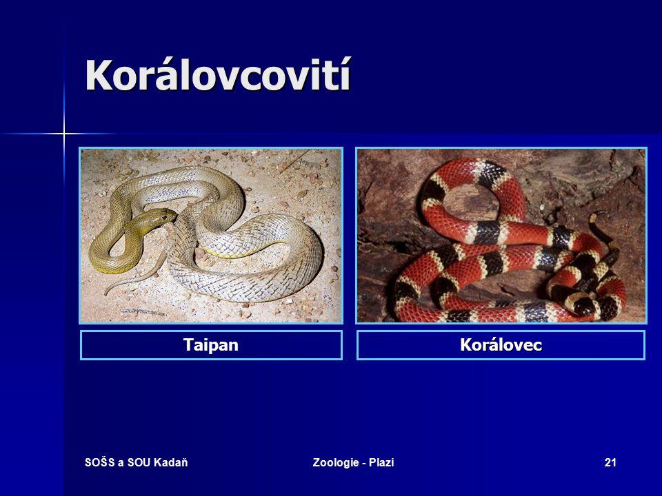Korálovcovití Taipan Korálovec SOŠS a SOU Kadaň Zoologie - Plazi