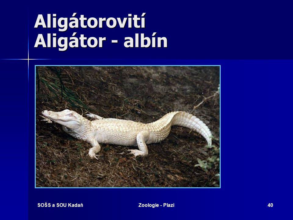 Aligátorovití Aligátor - albín