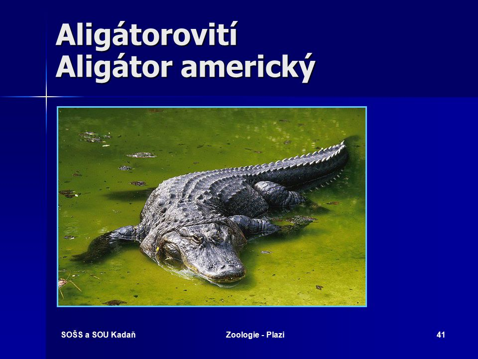 Aligátorovití Aligátor americký
