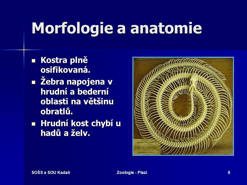 Morfologie a anatomie Kostra plně osifikovaná.