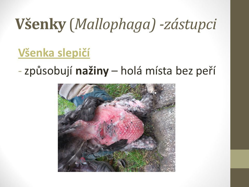 Všenky (Mallophaga) -zástupci
