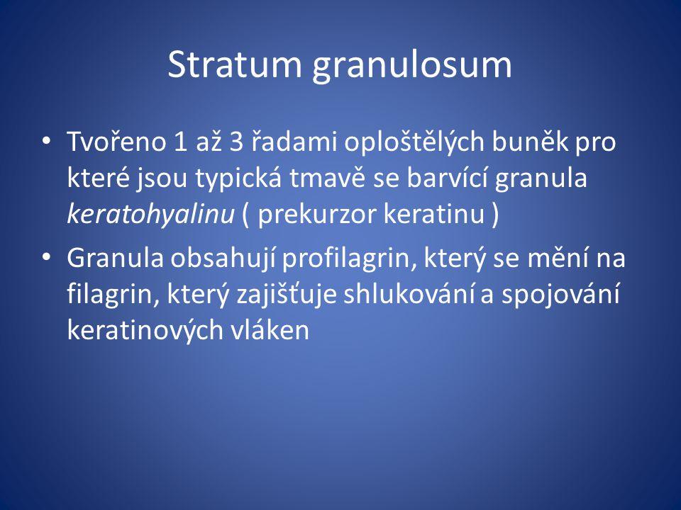 Stratum granulosum Tvořeno 1 až 3 řadami oploštělých buněk pro které jsou typická tmavě se barvící granula keratohyalinu ( prekurzor keratinu )