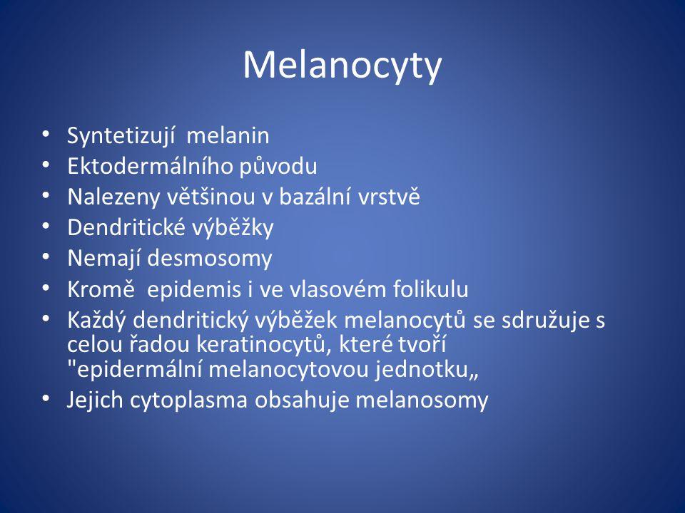 Melanocyty Syntetizují melanin Ektodermálního původu