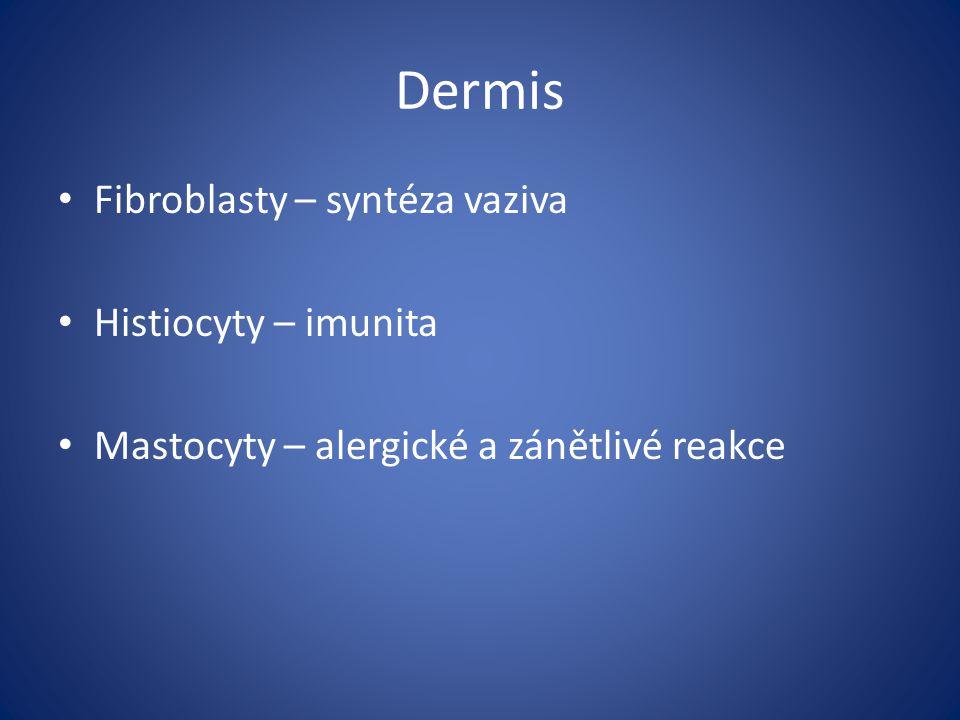 Dermis Fibroblasty – syntéza vaziva Histiocyty – imunita