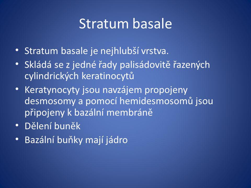 Stratum basale Stratum basale je nejhlubší vrstva.