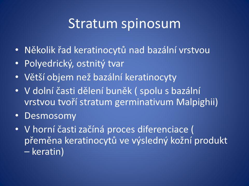 Stratum spinosum Několik řad keratinocytů nad bazální vrstvou