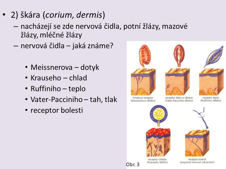 2) škára (corium, dermis)