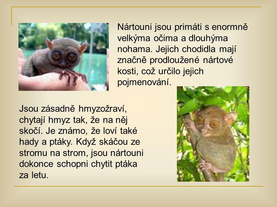 Nártouni jsou primáti s enormně velkýma očima a dlouhýma nohama