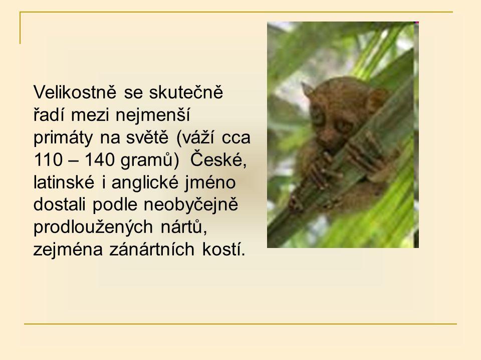 Velikostně se skutečně řadí mezi nejmenší primáty na světě (váží cca 110 – 140 gramů) České, latinské i anglické jméno dostali podle neobyčejně prodloužených nártů, zejména zánártních kostí.