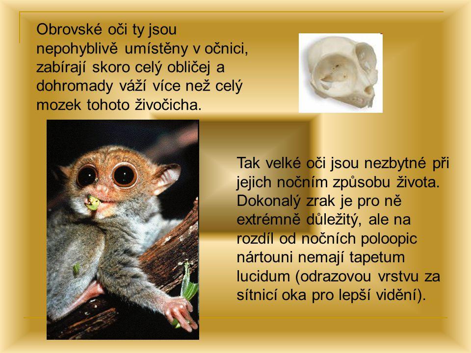 Obrovské oči ty jsou nepohyblivě umístěny v očnici, zabírají skoro celý obličej a dohromady váží více než celý mozek tohoto živočicha.