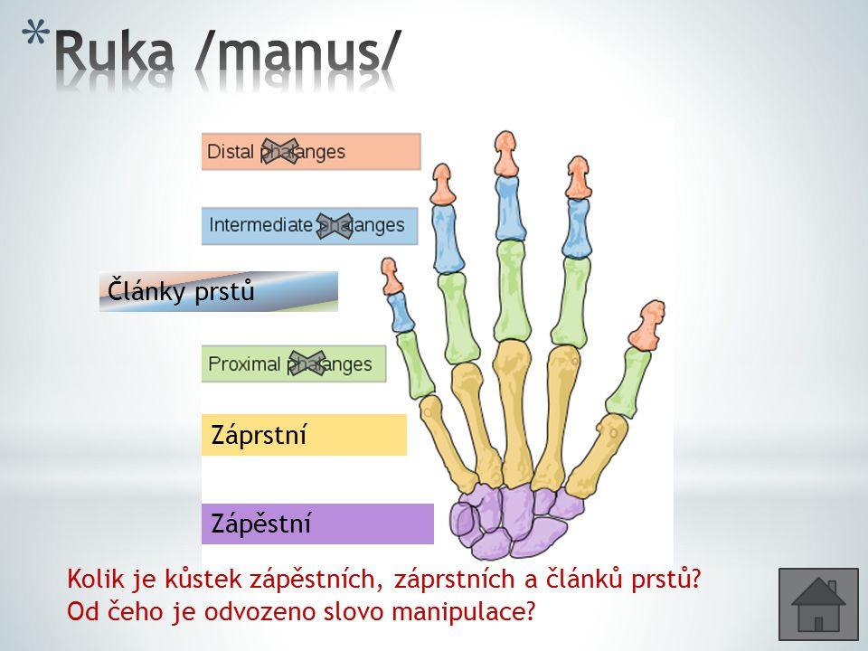 Ruka /manus/ Články prstů Záprstní Zápěstní