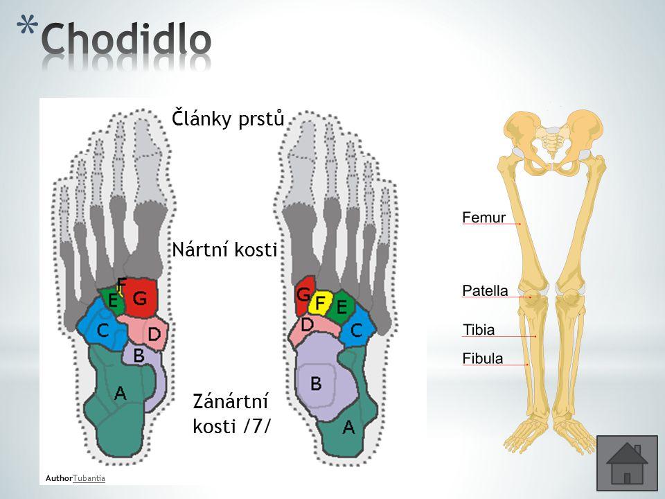 Chodidlo Články prstů Nártní kosti Zánártní kosti /7/ AuthorTubantia