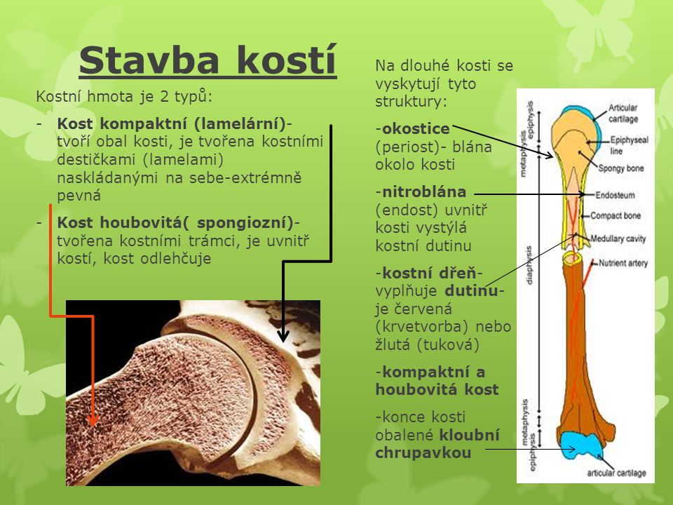 Stavba kostí Na dlouhé kosti se vyskytují tyto struktury: