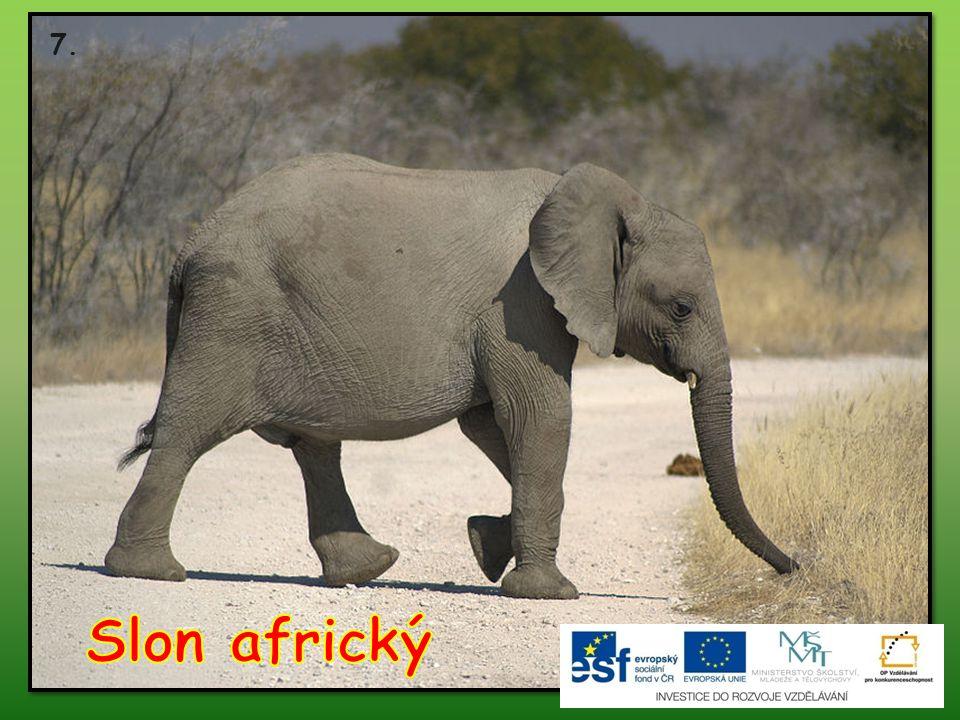 7. Slon africký