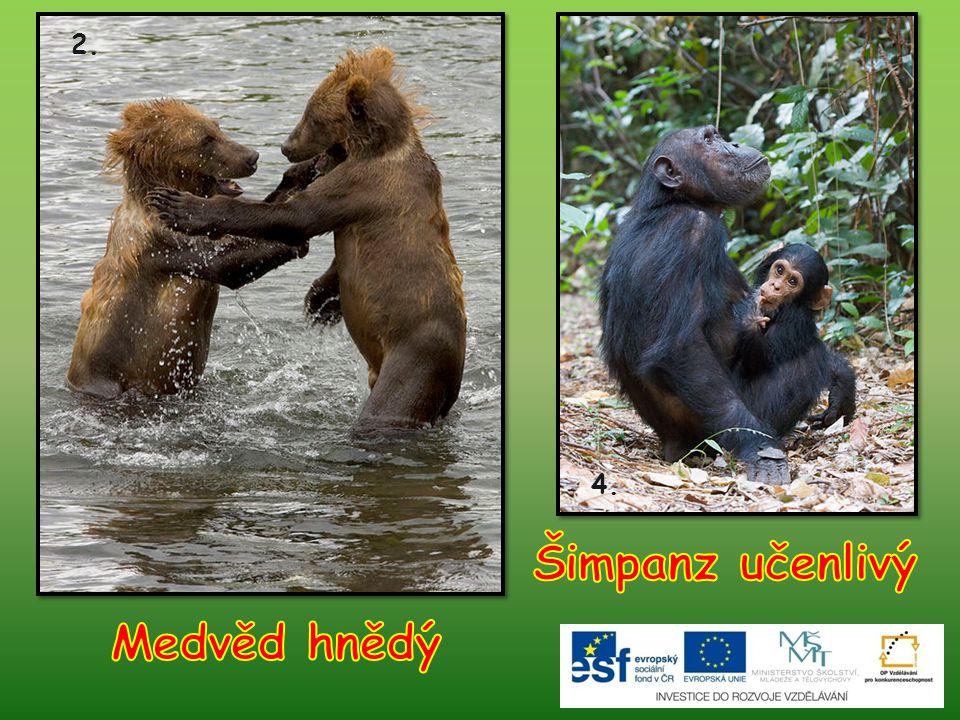 Šimpanz učenlivý Medvěd hnědý