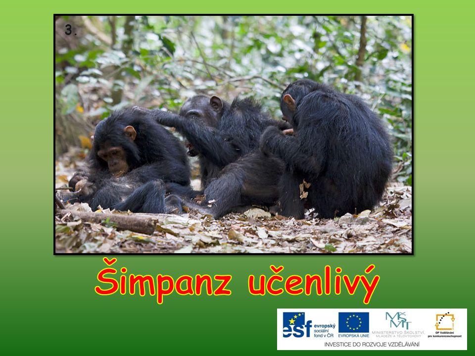 3. Šimpanz učenlivý