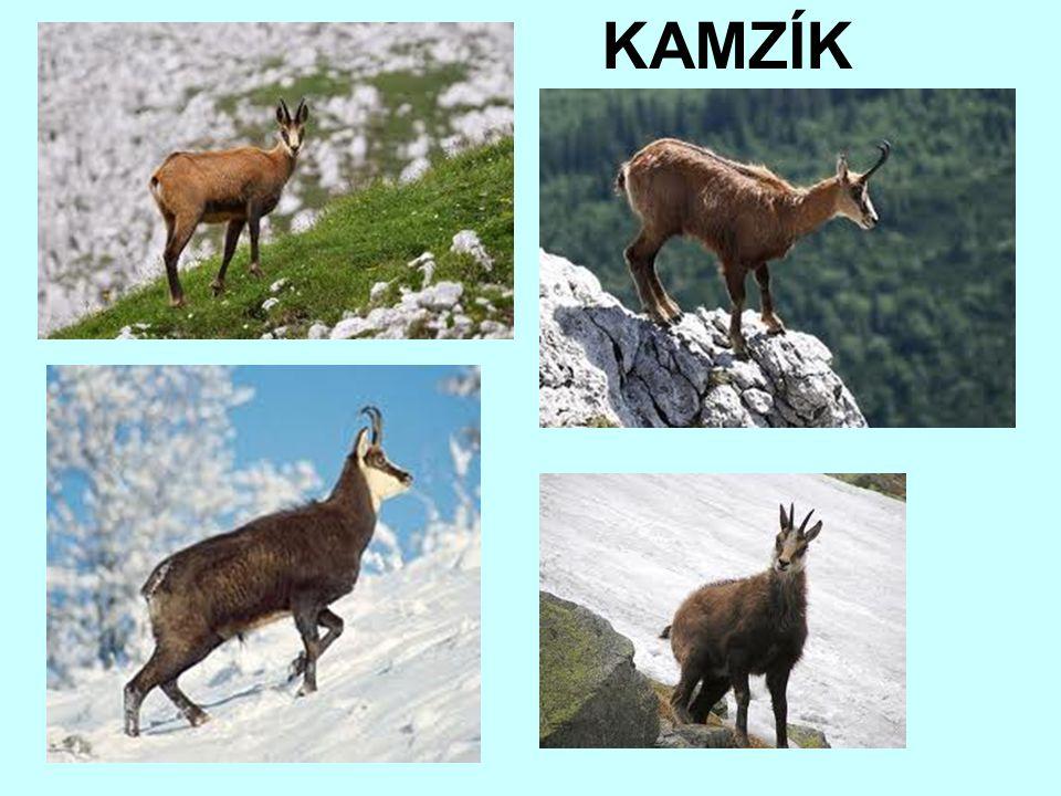 KAMZÍK