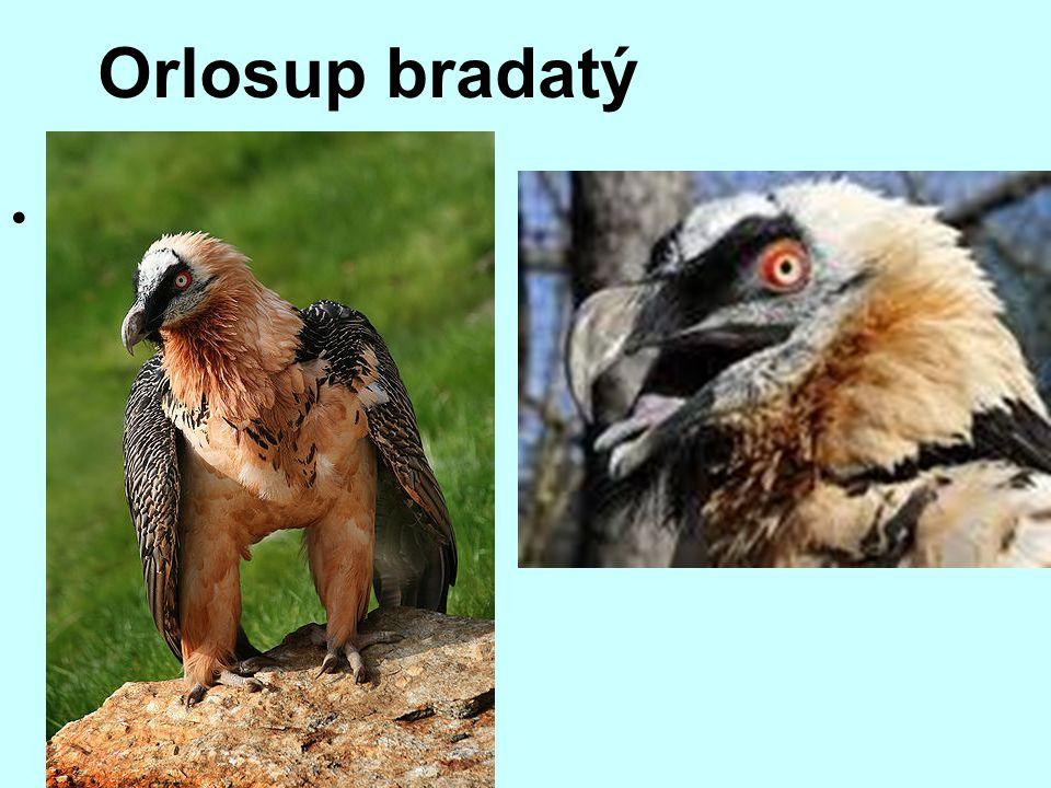 Orlosup bradatý Orlosup bradatý