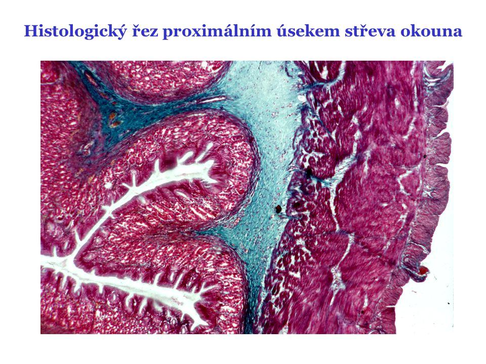 Histologický řez proximálním úsekem střeva okouna