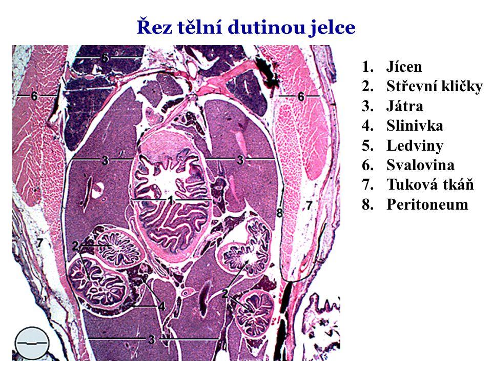 Řez tělní dutinou jelce