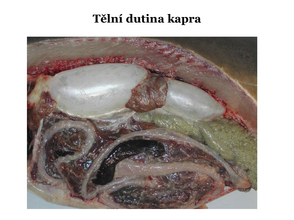 Tělní dutina kapra