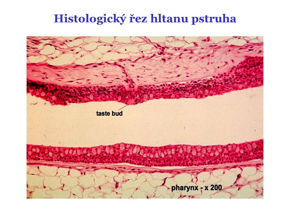 Histologický řez hltanu pstruha