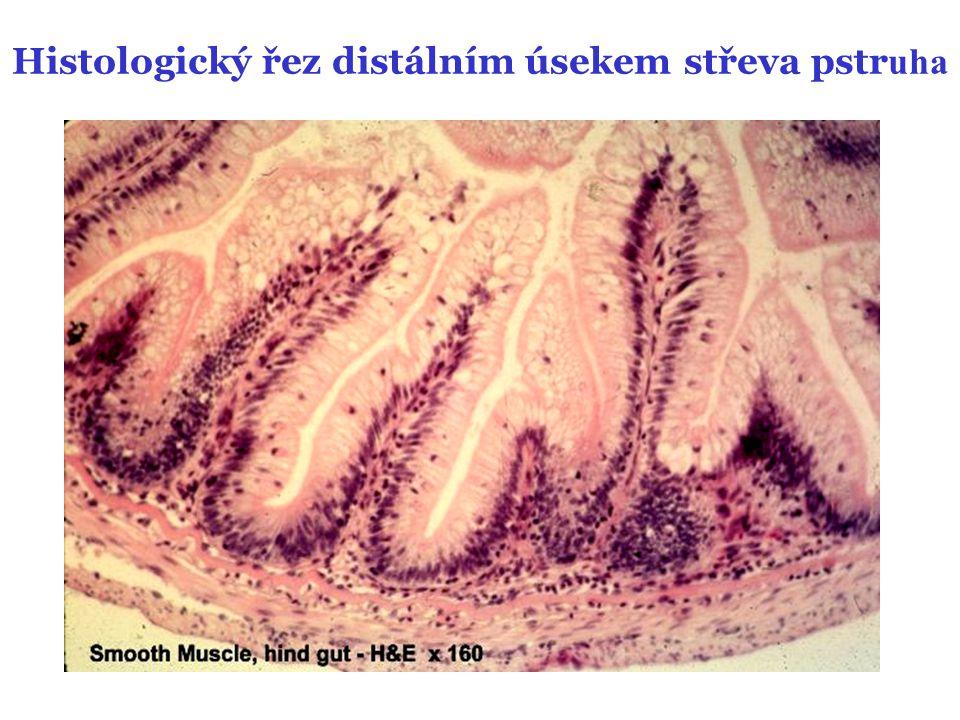 Histologický řez distálním úsekem střeva pstruha