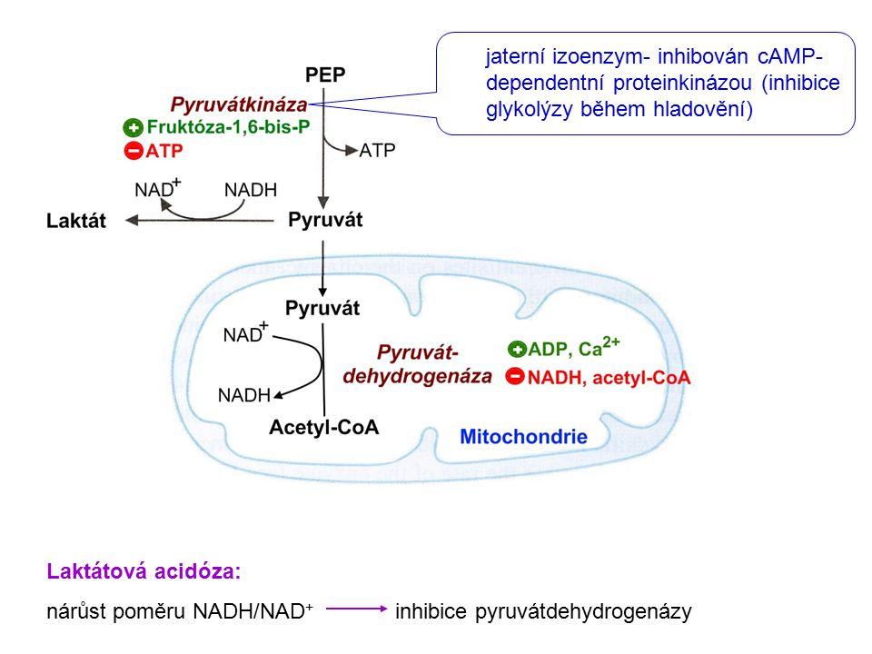 jaterní izoenzym- inhibován cAMP-dependentní proteinkinázou (inhibice glykolýzy během hladovění)