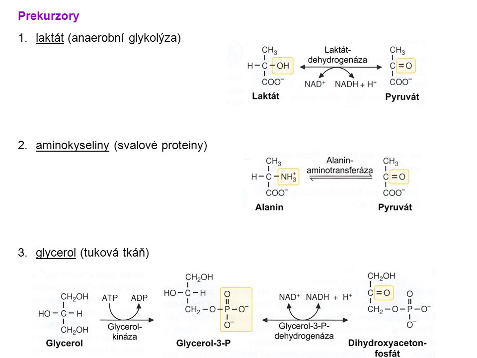 Prekurzory laktát (anaerobní glykolýza) aminokyseliny (svalové proteiny) glycerol (tuková tkáň)