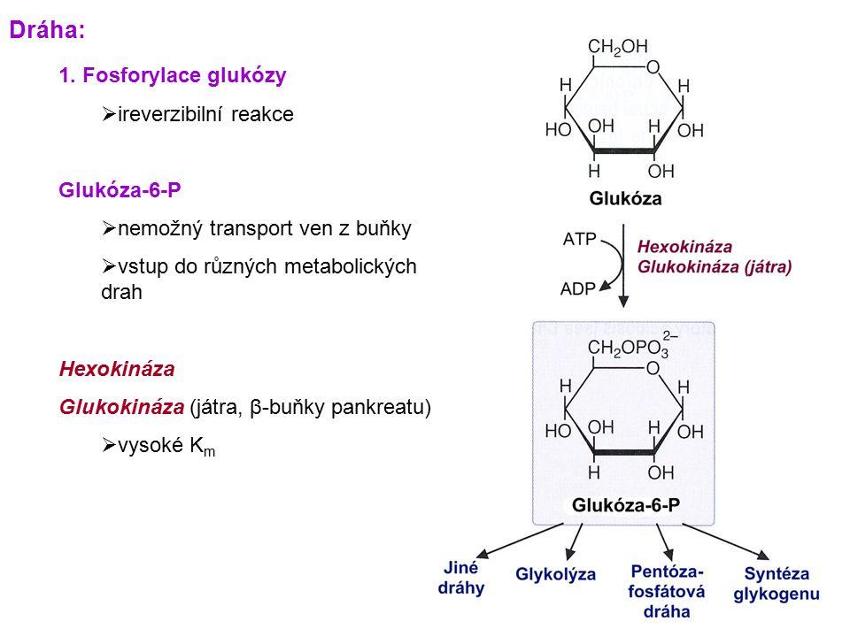 Dráha: 1. Fosforylace glukózy ireverzibilní reakce Glukóza-6-P