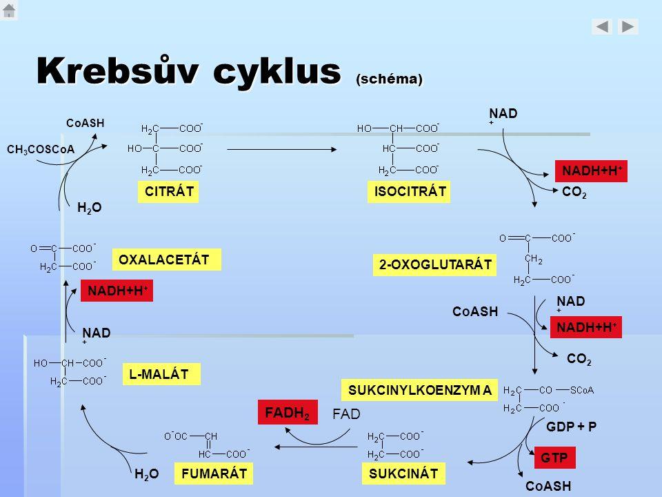 Krebsův cyklus (schéma)