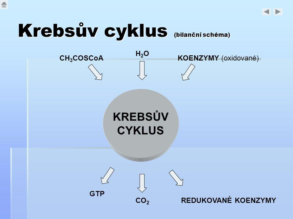 Krebsův cyklus (bilanční schéma)