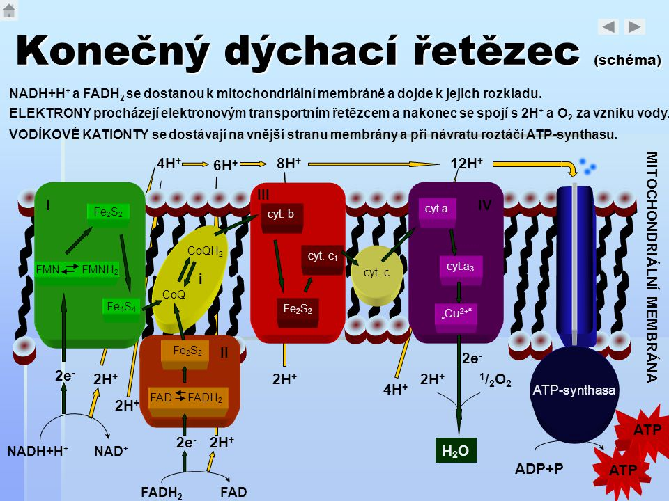 Konečný dýchací řetězec (schéma)