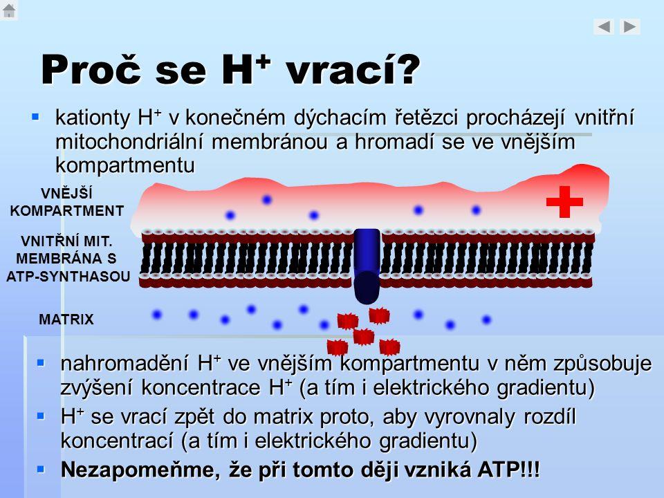 Proč se H+ vrací kationty H+ v konečném dýchacím řetězci procházejí vnitřní mitochondriální membránou a hromadí se ve vnějším kompartmentu.