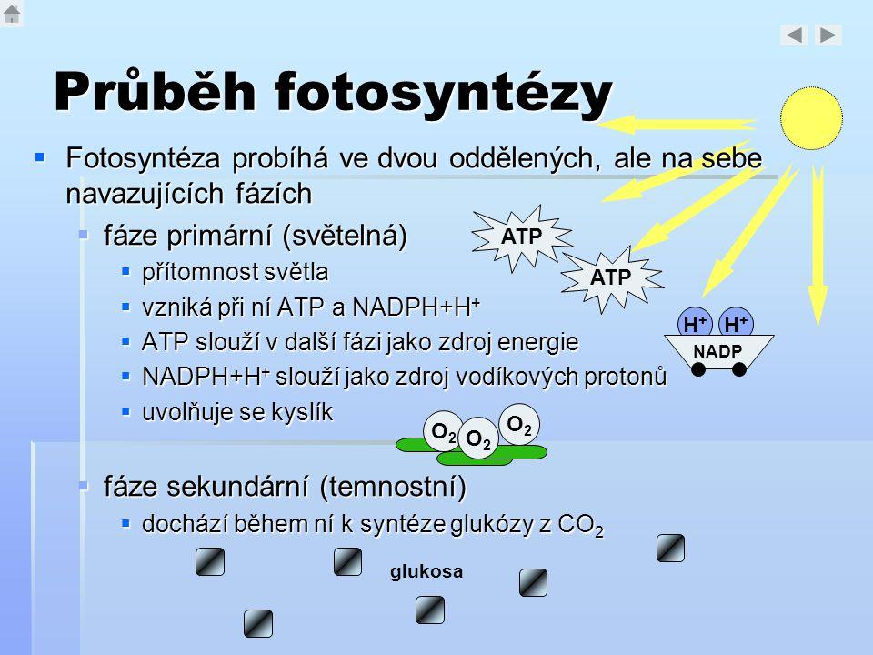 Průběh fotosyntézy Fotosyntéza probíhá ve dvou oddělených, ale na sebe navazujících fázích. fáze primární (světelná)