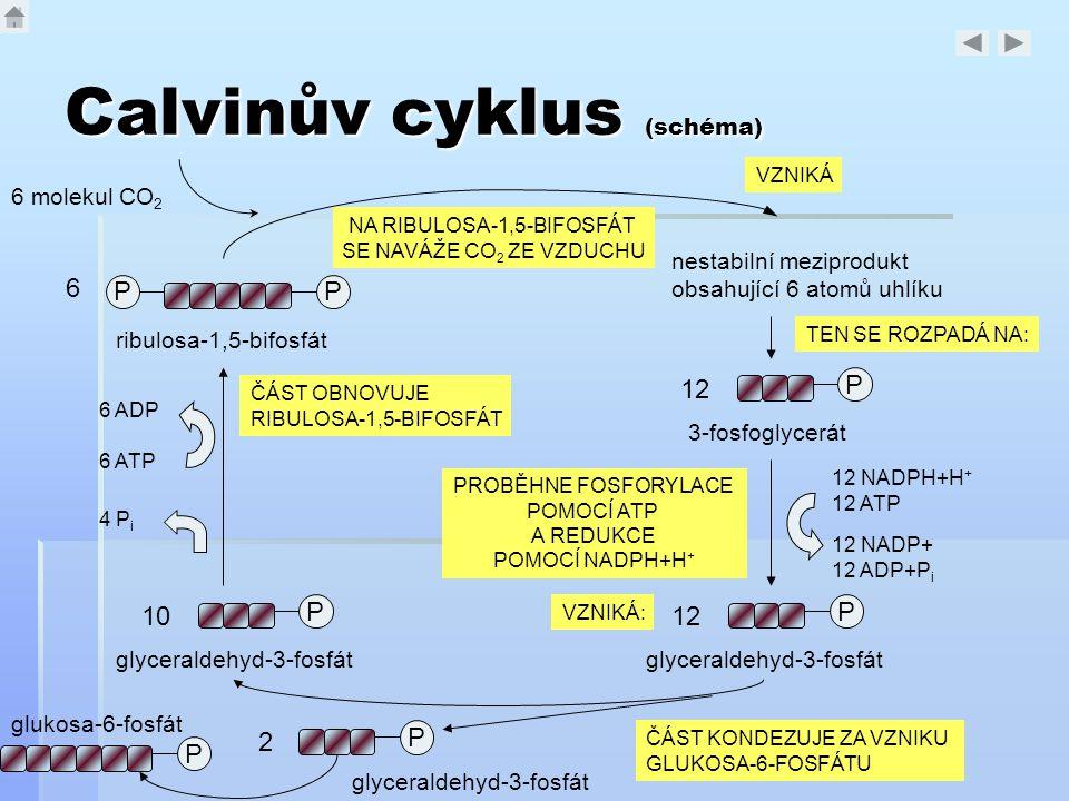 Calvinův cyklus (schéma)