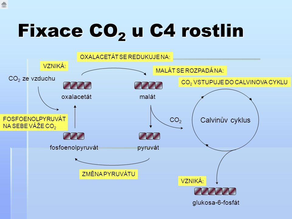 Fixace CO2 u C4 rostlin Calvinův cyklus CO2 ze vzduchu oxalacetát